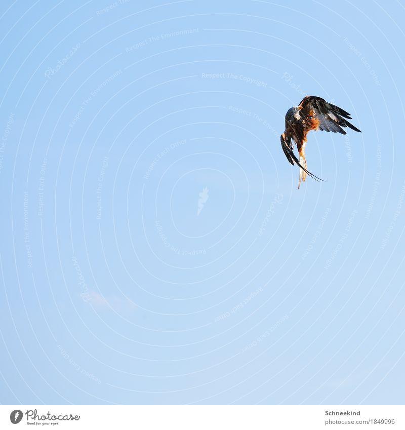 Jagdzeit Umwelt Natur Luft Himmel Wolkenloser Himmel Schönes Wetter Tier Wildtier Vogel Tiergesicht Flügel Krallen Zoo 1 füttern Aggression ästhetisch
