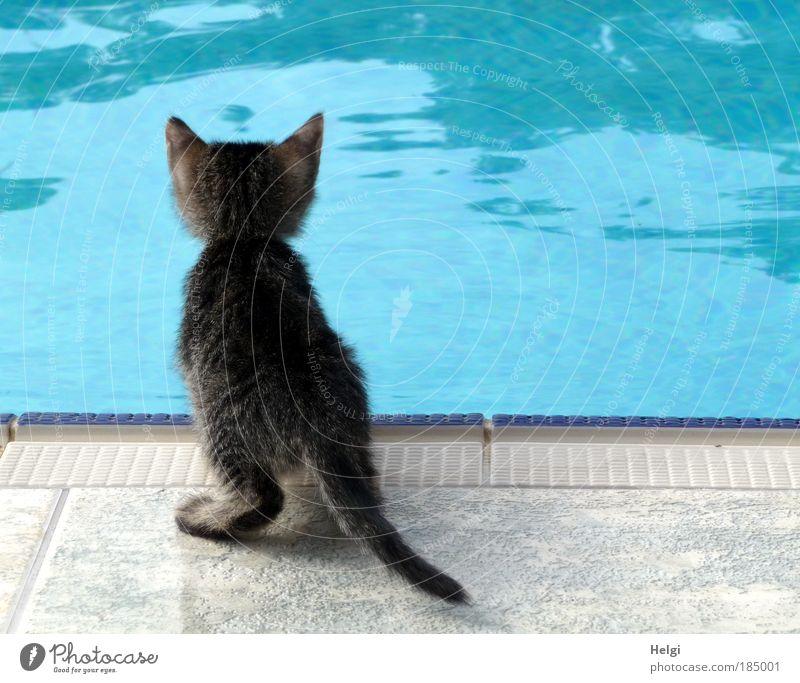 junge Katze schaut neugierig in einen Pool Tier Haustier 1 Tierjunges Stein Wasser beobachten Blick warten ästhetisch klein Neugier niedlich blau grau weiß