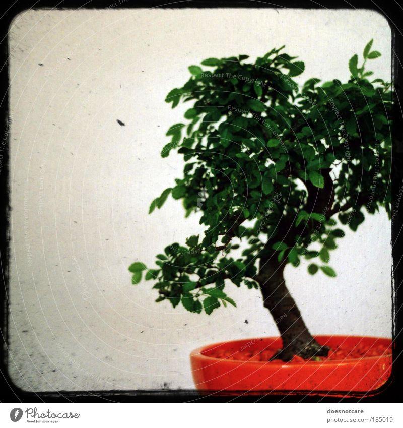 Penzai. Pflanze Baum grün orange Bonsai Kamerawurf analog Zimmerpflanze Rahmen praktica klein Miniatur penzai penjing Japan China Gartenkunst Farbfoto
