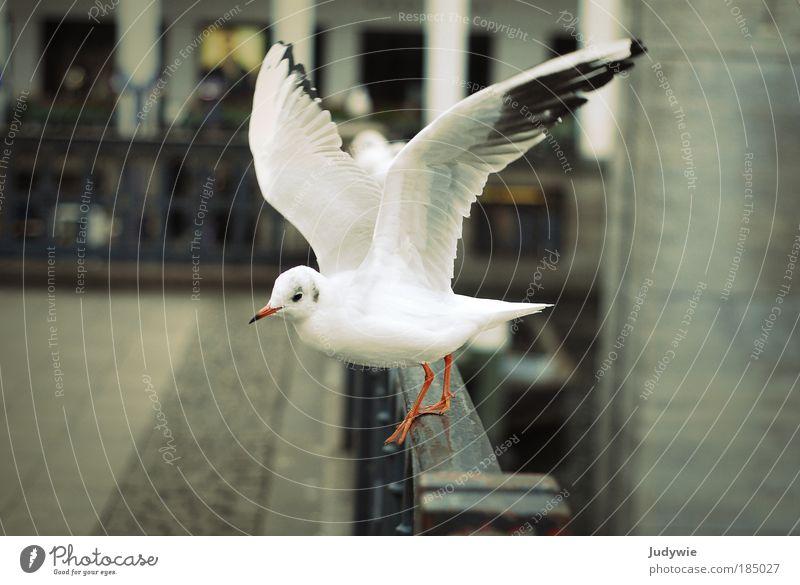 Auf geht's Umwelt Natur Luft Winter Wind Platz Gebäude Tier Vogel Möwe 1 fliegen ästhetisch schön weiß Leidenschaft Energie Freiheit kalt unschuldig