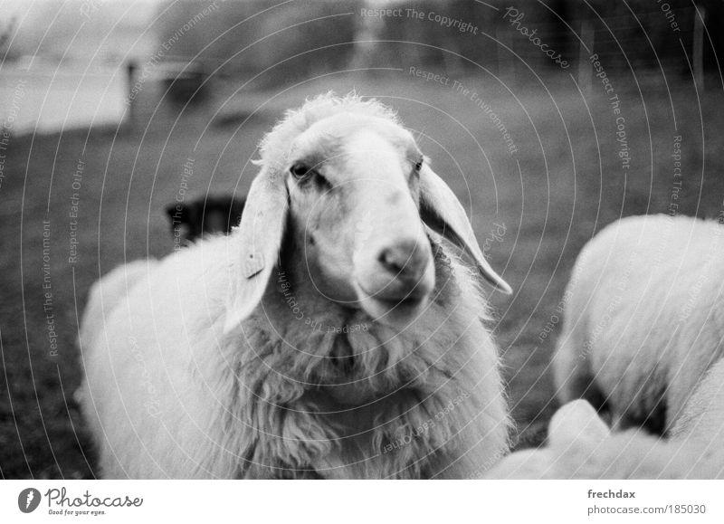 da mothersheep Nutztier Tiergesicht Fell Tiergruppe grün schwarz silber weiß analog Kodak TRI - X 400 Canon T70 50mm ƒ 1.8 Schwarzweißfoto Außenaufnahme
