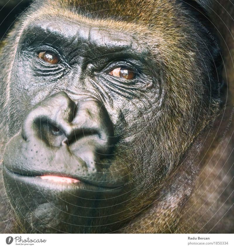 Schwarzes Gorilla-Porträt Natur Farbe Tier Wald schwarz Gesicht Umwelt Gefühle braun Freundschaft wild Kraft Wildtier groß Energie beobachten