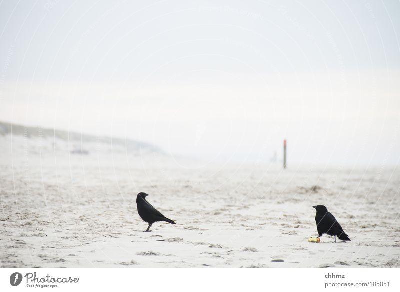 Zank am Strand Meer Tier Landschaft Sand Vogel Horizont Insel Nordsee Stranddüne Gezeiten Pfosten Konkurrenz Ebbe Holzpfahl Neid