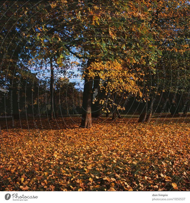 Bürgerpark Baum Blatt ruhig Umwelt gelb Herbst Stimmung Park gold Schönes Wetter viele analog Laubbaum dehydrieren