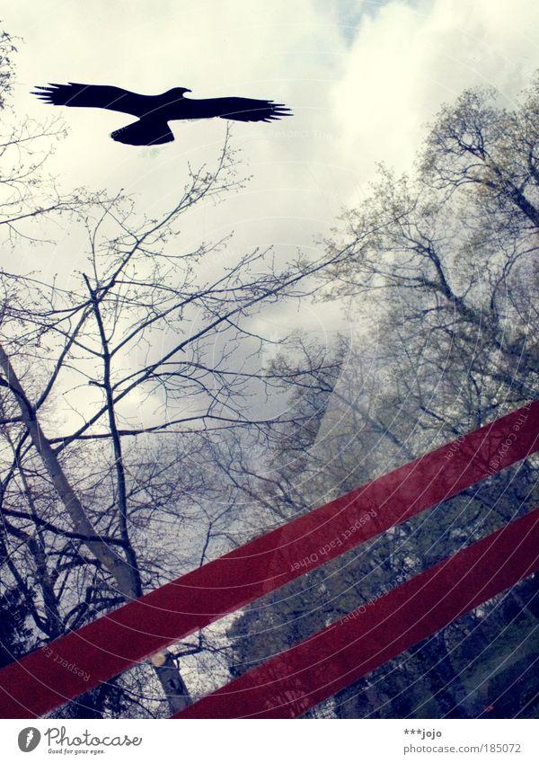 eagle. Natur Pflanze Tier Himmel Baum Vogel Greifvogel Bussard fliegen frei Freiheit Streifen Haltestelle Farbfoto Außenaufnahme Tag Silhouette Glasscheibe