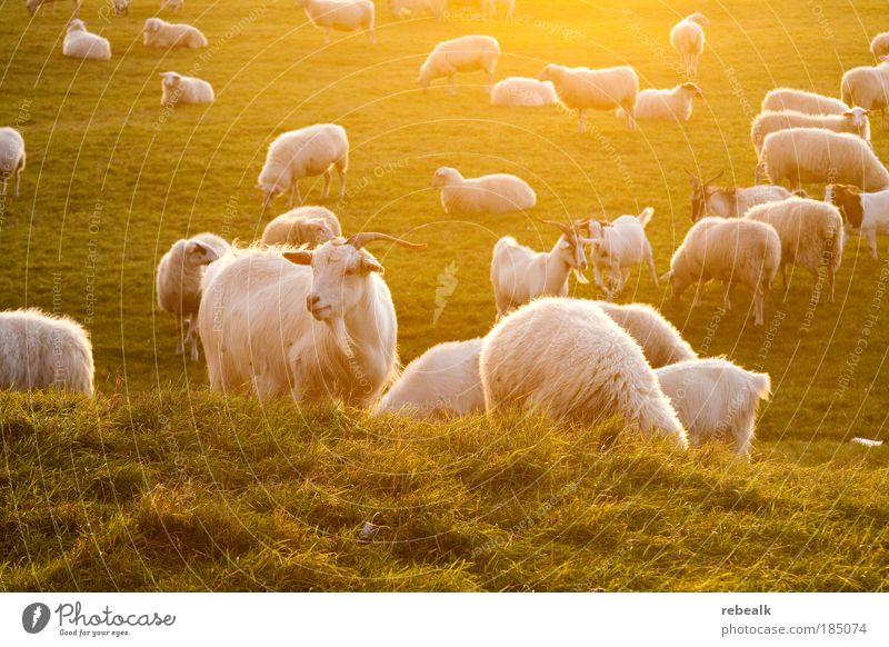 Zur goldenen Ziege Tier Wiese Gras Glück Stimmung Leben Landwirtschaft Zufriedenheit natürlich leuchten stehen Tiergruppe Idylle Pflanze Bauernhof Schaf