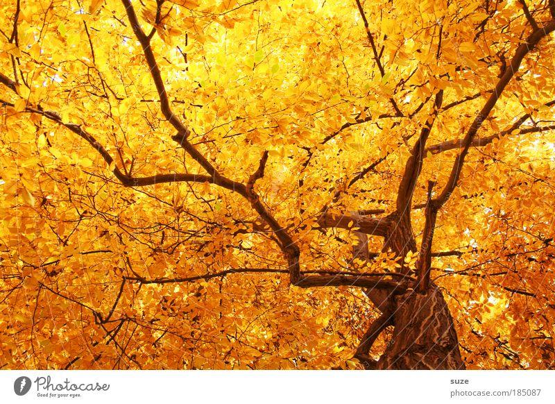 Goldrausch Natur alt Baum Blatt Herbst Gefühle Umwelt gold Zeit ästhetisch Wald fallen Ast Licht Jahreszeiten Baumstamm