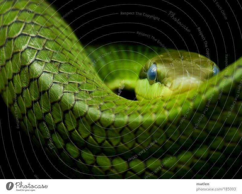 blue eyes Tier Schlange 1 Schleife bedrohlich elegant blau grün Gelassenheit Konzentration Kraft Jagd beobachten Auge stark Farbfoto Innenaufnahme Menschenleer