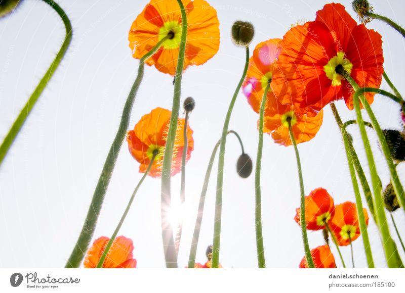 für Winterhasser Pflanze Wolkenloser Himmel Sonne Sonnenlicht Frühling Sommer Blume Blüte ästhetisch elegant blau grün rot Wachstum Mohn Mohnblüte Licht