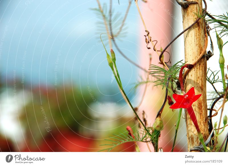 Sternblume Natur Pflanze Blume Orchidee Blüte exotisch ästhetisch rot Farbfoto Detailaufnahme Makroaufnahme Menschenleer Morgen Sonnenlicht Zentralperspektive