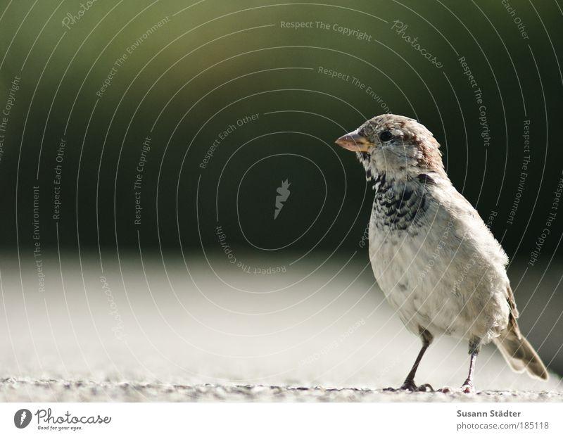 Stillstand Wildtier Vogel Fell beobachten Blick warten Spatz stehen Streichholz Steinmauer Feder Flügel Schnabel klein Natur Lebewesen Neugier niedlich