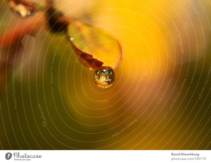 Träne des Herbstes Natur Pflanze grün Wasser Blatt gelb braun Wassertropfen einzeln nass rund Jahreszeiten Tropfen Kugel Herbstlaub