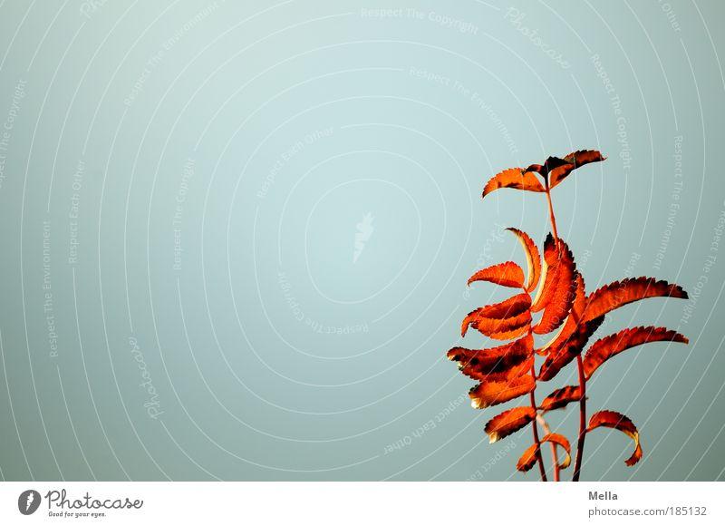 Herbst! Umwelt Natur Pflanze Himmel Wetter Blatt leuchten verblüht dehydrieren natürlich gold grau rot Stimmung Farbe Umweltschutz Verfall Vergänglichkeit