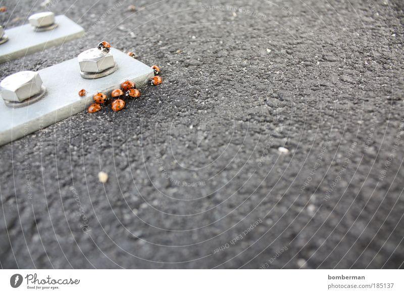 Marienkäferseuche Tier Käfer Tiergruppe Zusammensein Asphalt Metall Schraube Punkt Farbfoto Außenaufnahme Nahaufnahme Menschenleer Textfreiraum rechts Tag