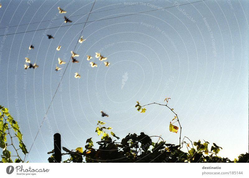 Flattervolk Himmel blau Haus Freiheit fliegen Wachstum frei Wildtier Tiergruppe Schönes Wetter Vogel Wolkenloser Himmel Taube Stadtrand