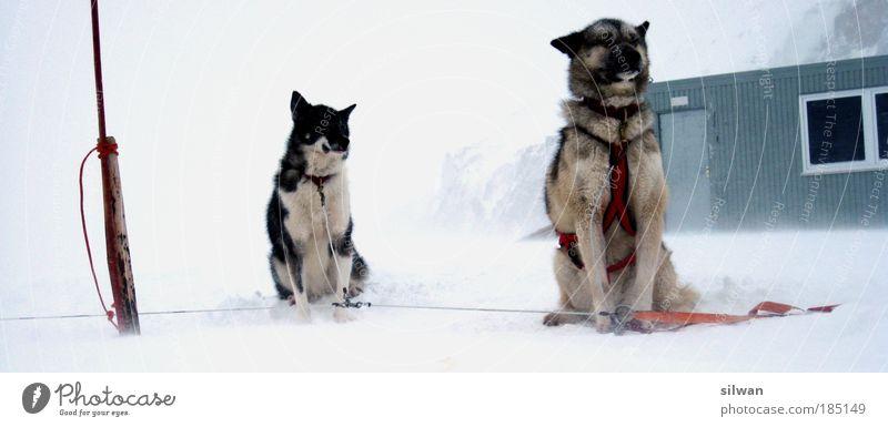 Huskies Schlittenhund Winter Schnee Berge u. Gebirge schlechtes Wetter Sturm Nebel Eis Frost Haustier Nutztier Hund 2 Tier Rudel Vorfreude Müdigkeit Husky