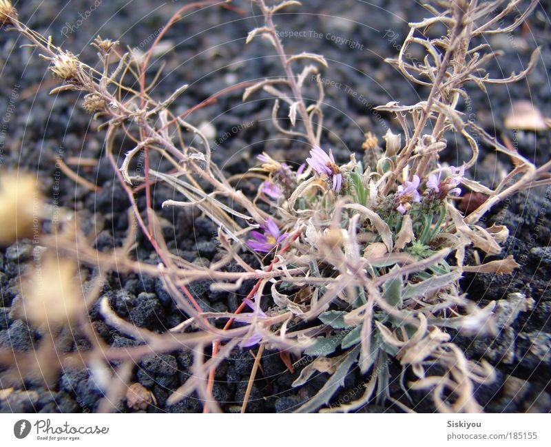 Natur Blume Pflanze Winter schwarz Stein Park Erde Kraft Umwelt Erfolg Felsen ästhetisch Wachstum violett Wüste
