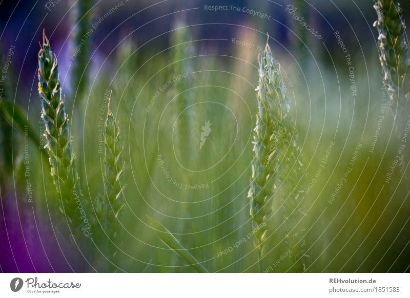 Getreide Umwelt Natur Pflanze Nutzpflanze Feld Wachstum natürlich grün Hintergrundbild Landwirtschaft Ernte Getreidefeld Farbfoto Außenaufnahme Nahaufnahme