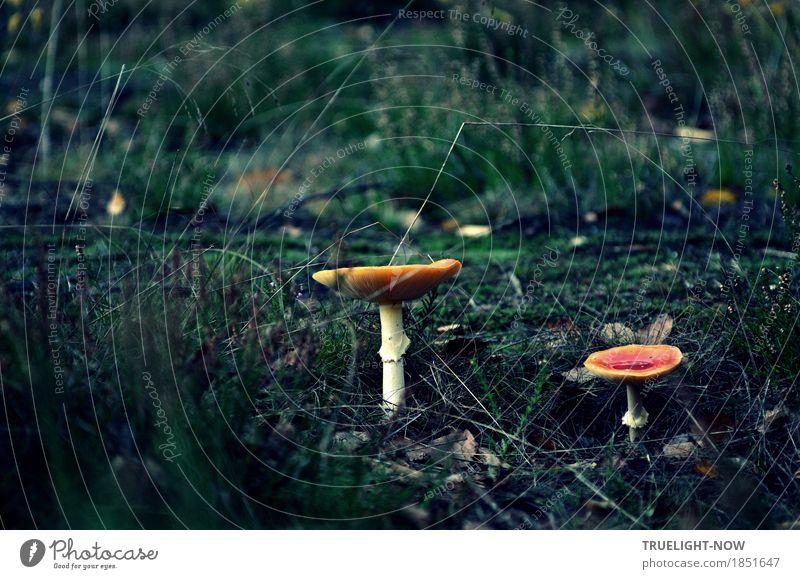 """Die Zeit der Pilze Natur Pflanze Erde Sand Herbst Gras Sträucher Moos Wildpflanze """"Pilze Fliegenpilz"""" Wald grün violett rot weiß Kraft Überraschung träumen"""