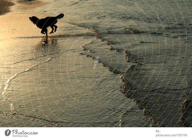 strandhund Natur Landschaft Sand Wasser Sonne Sonnenaufgang Sonnenuntergang Sommer Schönes Wetter Wellen Küste Flussufer Strand Bucht Nordsee Meer Insel See