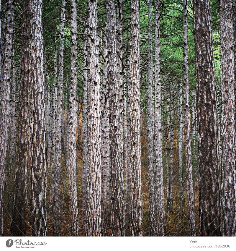 Mystery Forest mit großen Bäumen Tapete Umwelt Natur Landschaft Pflanze Frühling Sommer Herbst Baum Blatt Park Wald dunkel hoch natürlich braun gelb grün