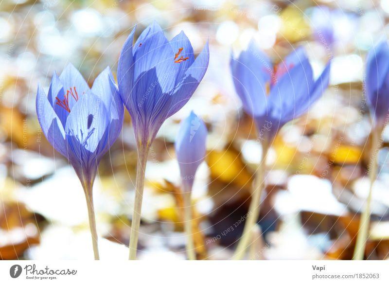 Blauer Blumenkrokus im Wald Sommer Sonne Garten Umwelt Natur Landschaft Pflanze Sonnenlicht Frühling Blatt Blüte Wildpflanze Wiese frisch hell natürlich blau