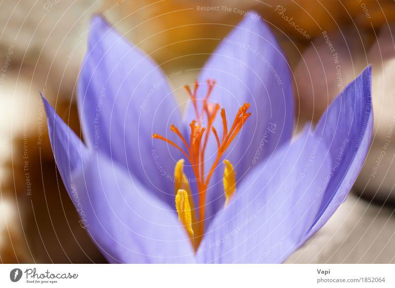 Blauer Blumenkrokus im Wald elegant Sommer Garten Tapete Natur Landschaft Pflanze Frühling Blatt Blüte frisch hell natürlich blau gelb violett Farbe Krokusse