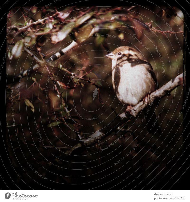 Lieber den Spatz... Tier sitzen Sperlingsvögel Rahmen Kamerawurf Vogel klein braun Herbst Blick niedlich analog praktica Sträucher Farbfoto Gedeckte Farben