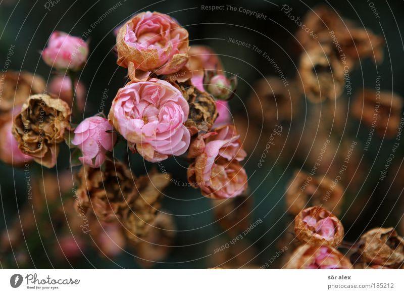 Zeitgebunden Natur schön Pflanze Blume Leben Herbst Tod Traurigkeit Blüte Stimmung rosa Zufriedenheit bedrohlich Vergänglichkeit Trauer Rose