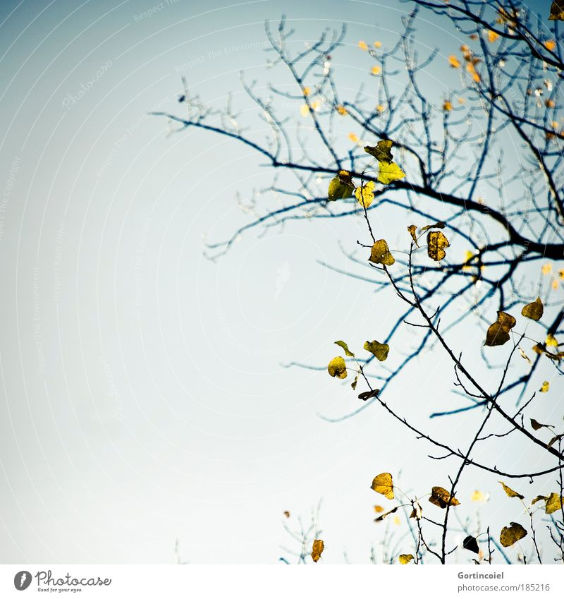 Stürmisch Umwelt Natur Luft Himmel Wolkenloser Himmel Herbst Wetter schlechtes Wetter Wind Baum Blatt Birke Birkenblätter Ast kalt herbstlich Jahreszeiten