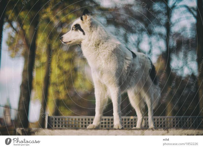 Laika Natur Hund schön weiß Tier Umwelt Lifestyle Herbst Stil Park elegant ästhetisch authentisch Schönes Wetter beobachten bedrohlich