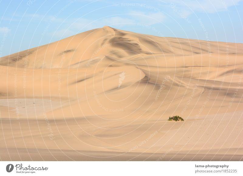 widerstandsfähig Ferien & Urlaub & Reisen Ausflug Abenteuer Ferne Safari Expedition Sand Wärme Dürre Sträucher Grünpflanze Wüste Namib Düne Swakopmund Namibia