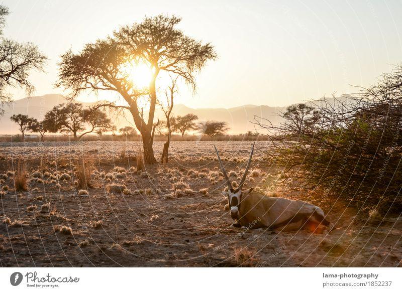 A new day. Ferien & Urlaub & Reisen Ferne Safari Sommerurlaub Sonnenaufgang Sonnenuntergang Sonnenlicht Baum Sträucher Wüste Namib Namibia Afrika Spießbock