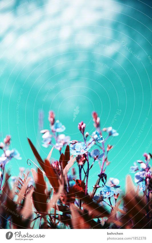 klein sein Natur Pflanze Himmel Wolken Sommer Schönes Wetter Blume Gras Blatt Blüte Veronica Garten Park Wiese Feld Blühend Duft Wachstum hell schön sommerlich