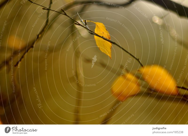 Herbst Umwelt Natur Pflanze Baum Blatt festhalten hängen leuchten dehydrieren Wachstum Vergänglichkeit Zweige u. Äste Ast ruhig friedlich Farbfoto Außenaufnahme