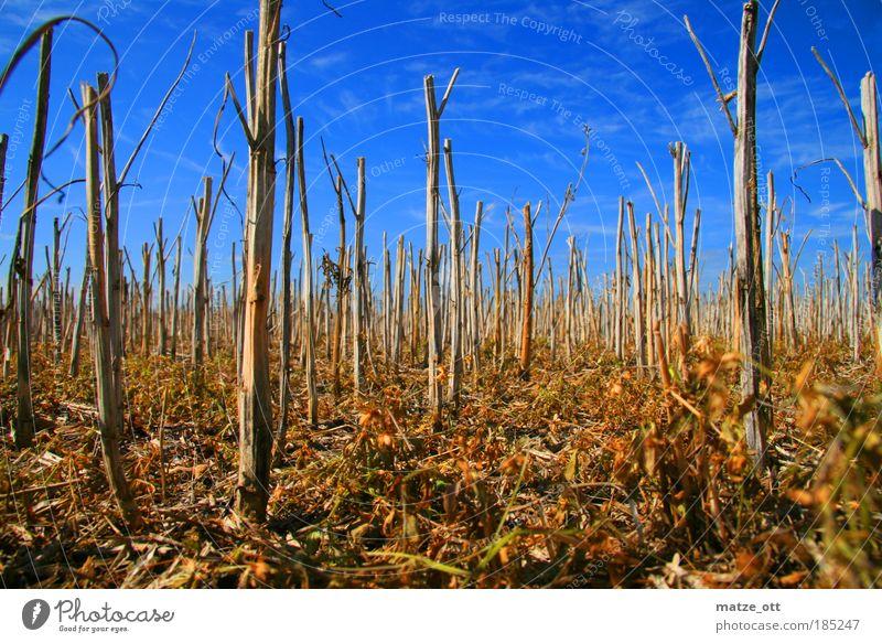 kein bett im Kornfeld Natur Himmel Pflanze Herbst Landschaft Feld Umwelt Erde Klima Getreide Landwirtschaft trocken Moos vertrocknet Weizen Forstwirtschaft