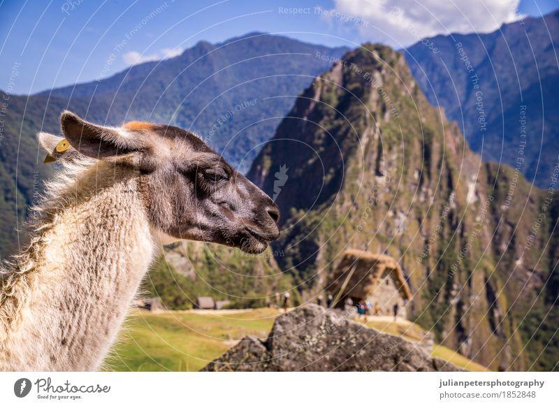 Lama in Machu Picchu Verlorene Ina-Stadt, Peru Ferien & Urlaub & Reisen Tourismus Berge u. Gebirge Kultur Natur Landschaft Tier Erde Wolken Felsen Ruine