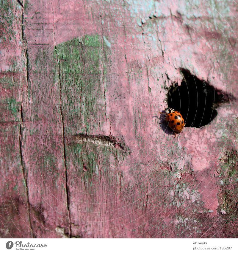 Wohnung des Marienkäferweibchens Natur Tier Holz rosa Umwelt Insekt Wildtier Loch Käfer