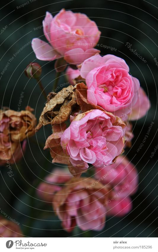 rosig Natur Pflanze schön Traurigkeit Blüte Herbst braun Stimmung rosa Zufriedenheit Blühend bedrohlich Vergänglichkeit Trauer Rose Duft