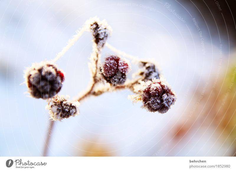 brombeereis mit sahne Natur Pflanze Winter Schönes Wetter Eis Frost Schnee Sträucher Brombeerbusch Brombeeren Frucht Garten frieren schön kalt erfrieren