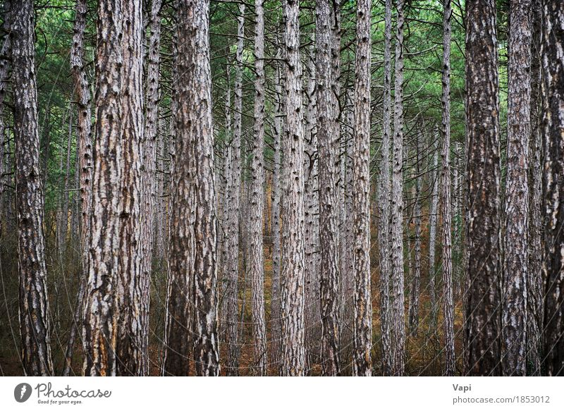 Mysteriöser Wald mit vielen Kiefern Ferien & Urlaub & Reisen Tapete Umwelt Natur Landschaft Pflanze Baum Blatt Park dunkel hoch natürlich braun grün schwarz