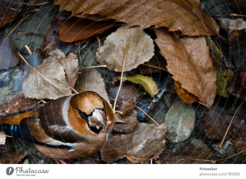 tarnkappe Natur Tier Blatt gelb Herbst Vogel braun Fressen Kernbeißer