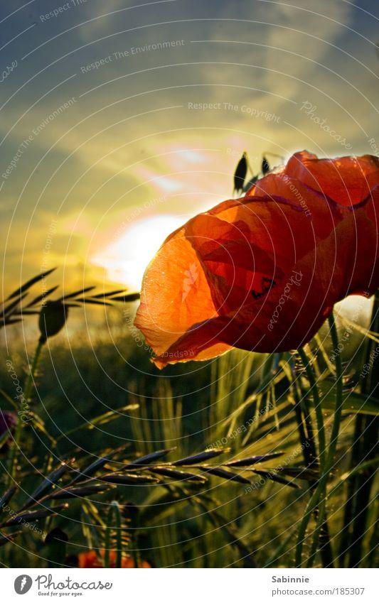 Der Sommer, wo isser hin? Natur Himmel Sonne Blume Pflanze Sommer Wiese Blüte Gras Glück Sonnenuntergang Landschaft Zufriedenheit Gegenlicht Sonnenaufgang Mohn