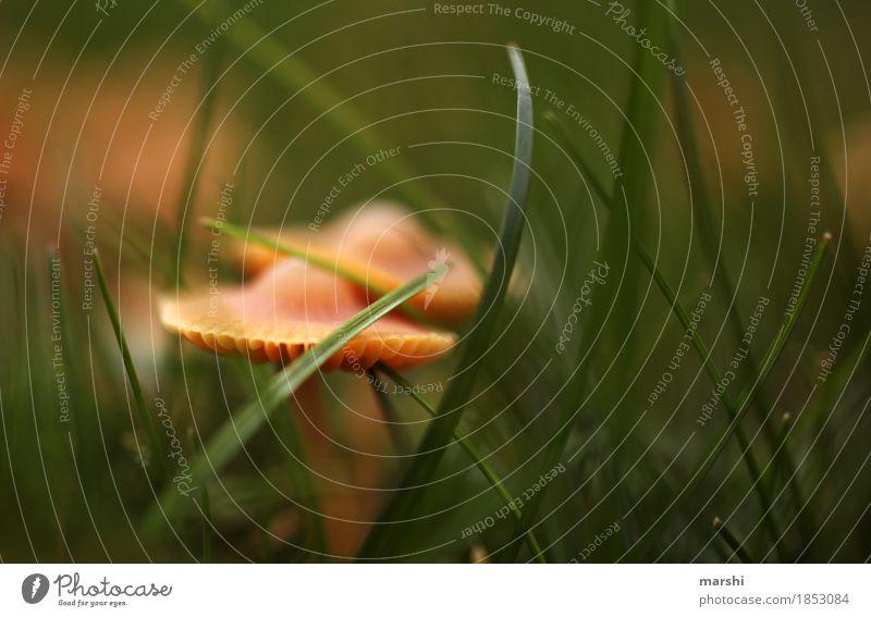 PilzPaar Natur Herbst Wetter Pflanze Wildpflanze Garten Wiese Stimmung grün braun Gras Farbfoto Außenaufnahme Nahaufnahme Detailaufnahme Makroaufnahme