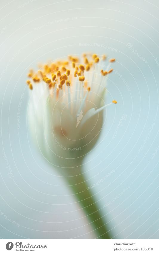Pollen in Pastell Natur schön weiß Blume grün blau Pflanze gelb Blüte elegant ästhetisch einfach zart Stengel Blühend