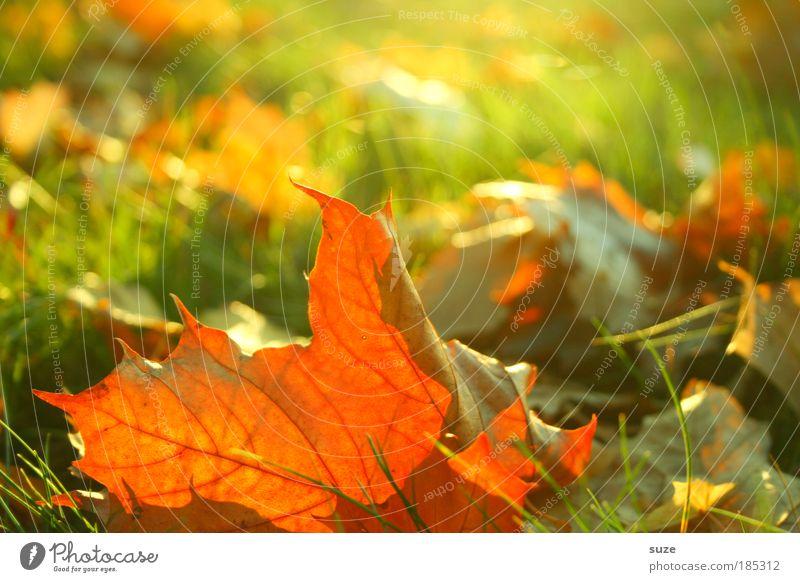 Herbstfrisch Natur alt Pflanze Blatt Gefühle Gras Landschaft Umwelt gold Zeit ästhetisch fallen Jahreszeiten Schönes Wetter Herbstlaub