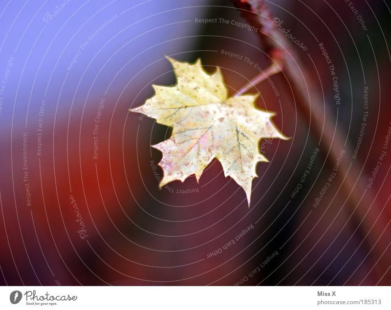 Blatt Umwelt Natur Pflanze Herbst Wetter Schönes Wetter Baum Sträucher Park kalt klein schön mehrfarbig Einsamkeit Farbe Vergänglichkeit Ahorn Ahornblatt