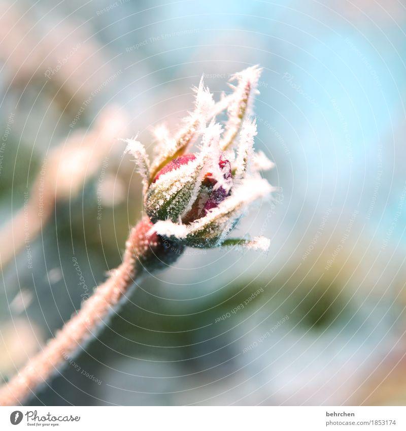 winter küsst sommer Natur Pflanze Winter Schönes Wetter Eis Frost Schnee Blume Blatt Blüte Rose Garten Park Wiese Blühend frieren schön kalt klein erfrieren
