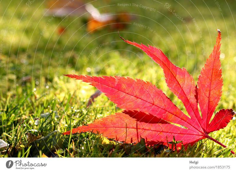 Happy Birthday... | im Rampenlicht II Umwelt Natur Pflanze Herbst Schönes Wetter Gras Blatt Ahornblatt Blattadern Garten leuchten liegen dehydrieren ästhetisch