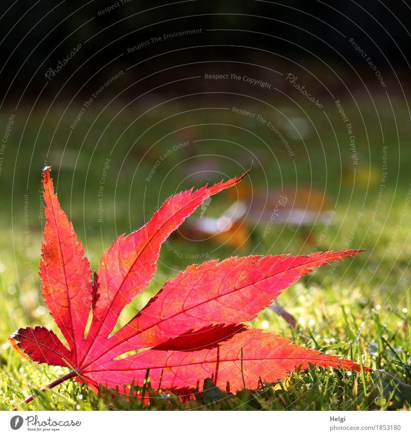 noch einmal im Rampenlicht... Umwelt Natur Pflanze Herbst Schönes Wetter Gras Blatt Ahornblatt Blattadern Garten leuchten liegen dehydrieren authentisch